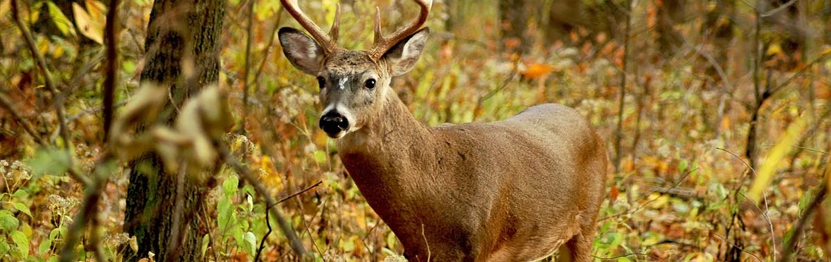 Whitetail Buck standing in dense forest