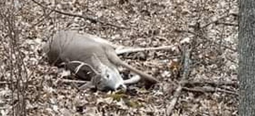 Large white tail deer attracted and taken using Buck Magic